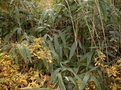 Bamboo Seeds Catalog — มีเมล็ดพันธุ์ไผ่จำหน่าย: INDOCALAMUS TESSELLATUS — 1st HARVEST NOV. 2015 — ... Bamboo Seeds, Harvest, Plants, Gardens, Plant, Planets