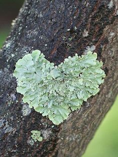 Lichen, a natural heart shape. I Love Heart, With All My Heart, Happy Heart, Love Is All, Your Heart, Heart In Nature, Heart Art, Deco Nature, Heart Images