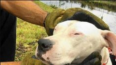 A pretty white pit bull mix was saved from drowning in a Miramar, Florida canal on Tuesday