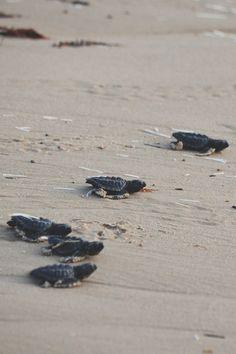 Sea Turtle (Kemp's Ridley) release - South Padre Island, TX
