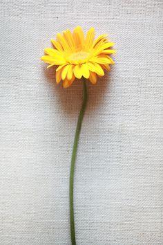 yellow-Gerbera-Daisy -- September yellow flower shop like