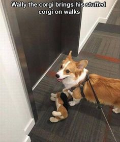 Funny Animal Picture Dump Of The Day 23 Pics Wally the corgi brings his stuffed corgi on walks Cute Funny Animals, Funny Animal Pictures, Funny Dogs, Funny Cute, Corgi Funny, Humorous Animals, Animal Pics, Funny Corgi Pictures, Corgi Meme
