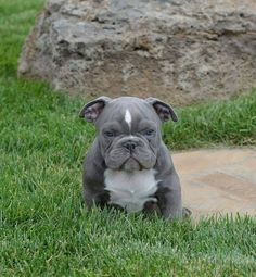 OMG the cutest!! Not sure if it is full #Pitbull but who cares!! #Blue #Pit