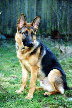 The German Shepherd Dog #germanshepherd