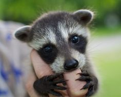 A very wee little baby raccoon