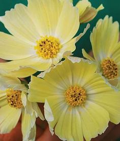 Cosmos, Lemonade.Fresh yellow petals with white centers float like butterflies in the breeze.