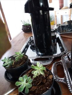 cafe - suculentas