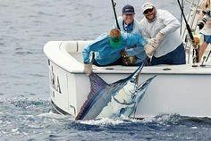 Blue marlin, boat side.