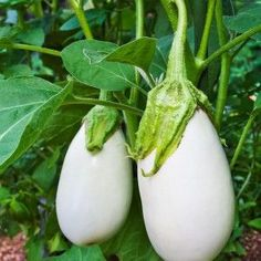 "White Eggplant Seeds - "" Casper "" From France, Heavy yields of Fruits - Organic ! Eggplant Plant, Growing Eggplant, Eggplant Seeds, Thai Eggplant, Baby Eggplant, Green Fruit, Fruit And Veg, Ripe Fruit, Colorful Fruit"