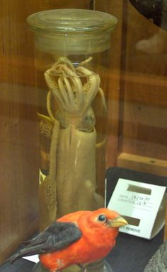 Squid in a jar. (Museum of Science, Boston.)  http://steampunkincornwall.blogspot.co.uk/