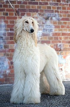 What a sweet Afghan Hound, so stunning!