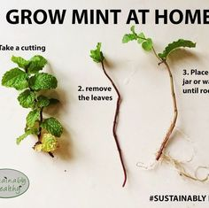 Advices About Growing Mint - 101 Gardening Home Vegetable Garden, Herb Garden, Indoor Vegetable Gardening, Garden Table, Garden Plants, Growing Plants, Growing Vegetables, Growing Herbs Indoors, Growing Tomatoes