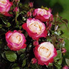 Rosier buisson 'nostalgie'® - Achat (rosa 'nostalgie'®) - Willemse