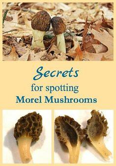 Secrets for Spotting Morel Mushrooms