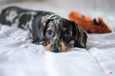 Dapple Dachshund, Dachshund Love, Cute Pupies, Rainbow Bridge, Weiner Dogs, Dachshunds, Amazing Photography, Dogs And Puppies, Friends