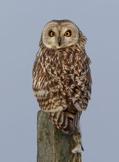 Don't look back in anger - Short-eared owl by *Jamie-MacArthur on deviantART
