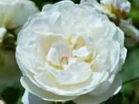 Zeeuwse Rozentuin | rozenkwekerij | landschapstuin | clematissen | te koop | leuk dagje weg | Zeeland | Noord Beveland | Cats | | Kwekerij en Landschapstuinen