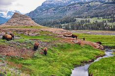 Bison Grazing At Soda Butte - Lamar Valley - Yellowstone National Park - Wyoming