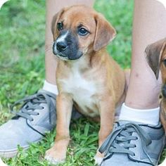 New Martinsville, WV - Boxer/Beagle Mix. Meet Dena, a puppy for adoption. http://www.adoptapet.com/pet/11499305-new-martinsville-west-virginia-boxer-mix