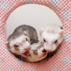 ちゃんと仲良く見張るんだぞ! #ferret #pet #petstagram #instaferret #ferretgram