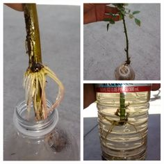 Growing roses from cuttings . And water Growing Roses, Growing Plants, Rose Cuttings, Raised Garden Beds, Raised Bed, Garden Inspiration, Garden Ideas, Bulb Flowers, Flower Farm