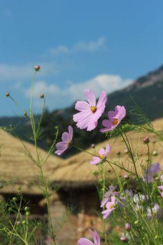 낙안읍성 마을에 핀 코스모스