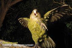 The Kakapo Parrot of New Zealand, Strigops habroptilus also called owl parrots… Flightless Parrot, Kakapo Parrot, Funny Animals, Cute Animals, Wild Animals, Parrot Toys, Australian Birds, Bird Drawings, Drawing Birds