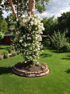 Blühende Kiefer . Mein Garten