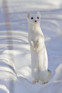 """It's a short tailed floofiest weasel :D :P"" Nature Animals, Animals And Pets, Animal Kingdom, Pet Ferret, Cute Ferrets, All About Animals, Animal 2, Cute Little Animals, Pets"