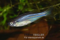 Pearl danio TROPICAL FISH - Google Search