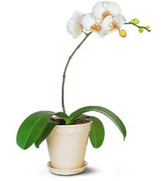 White Phalaenopsis Orchid  Item TF141-1