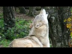 Awesome Wolf Howling Compilation - YouTube