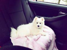 #dog #snowballthespitz #japanskspisshund #puppylove