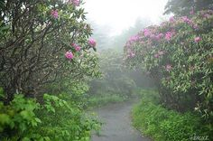 Rhododendron's on Roan Mountain