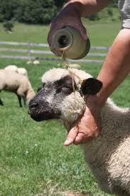 """""""You have anointed my head with oil"""" The shepherd will do this to keep the insects away. What a good Shepherd!"""