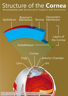 Keratomania.com - Keratoconus Support and Awareness The cornea is the eye's outermost layer. it is the clear, dome-shaped surface that covers the front of the eye. Although the cornea is clear and seems to lack substance, it is actually a highly organized group of cells and proteins. Unlike most tissues in the body, the cornea contains no blood vessels to nourish or protect it against infection.