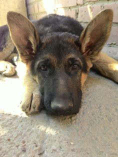 German Shepherd Dexter