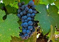 Graciano, Terra Alta Vineyard, Bokisch Ranches, Lodi AVA. Photography by Randy Caparoso.