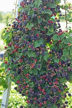 Growing Blackberries - Blackberries - Ideas of Blackberries - Blackberries are a delicious easy to grow fruit. They're easy to harvest have a high yield and require little work. Grow blackberries for home or sale. Backyard Vegetable Gardens, Vegetable Garden Design, Fruit Garden, Edible Garden, Garden Landscaping, Garden Plants, Landscaping Borders, Fruit Plants, Gardening Vegetables