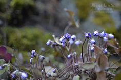 Pennywort Mountain Living, Finland