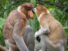 Unfortunately the proboscis monkey is another endangered species
