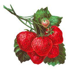Antique Images: Strawberry Stock Digital Image Fruit Clip Art Download Antique Illustration