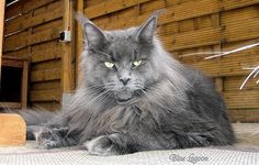 Maine Coon. Cool Motions Blue Lagoon
