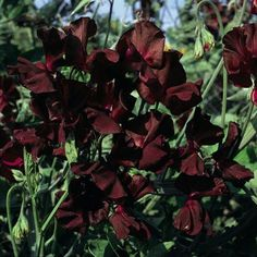 Sweet Peas! An old fashion fragrant flower! Black Knight is a dark purplish-maroon blossom that is nearly black. Very fragrant and truly beautiful. This sweet pea was introduced in 1898 by Henry Eckfo