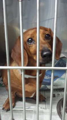 SAFE --- LILY (A1664258) I am a spayed female brown Dachshund. Shelter has Lily listed as 8 years old. The shelter staff think I am about 7 years old. I was found as a stray and I may be available for adoption on 12/10/2014. — hier: Miami Dade County Animal Services. https://www.facebook.com/urgentdogsofmiami/photos/pb.191859757515102.-2207520000.1417997096./884916978209373/?type=3&theater