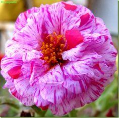 Portulaca grandiflora – Foto fiori succulent plant flower on stranepiante