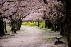 Cherry tree lined path by Kintaikyo bridge in Iwakuni, Yamaguchi, Japan.