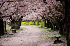 Cherry tree lined path by Kintaikyo bridge in Iwakuni, Yamaguchi, Japan.