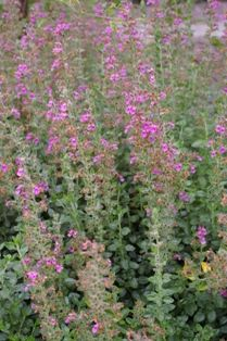 """Teucrium chamaedrys  (Wall germander ) """"Low, evergreen shrub with crinkled leaves and short sprays of deep pink flowers. Teucrium chamaedrys is good for the front of the border and for edging a path."""""""
