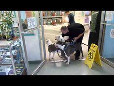 [VIDEO] 3 Pit Bulls Visit Pet Store - http://www.dawgydog.com/video-3-pit-bulls-visit-pet-store/